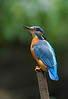 Kingfisher on reedmace