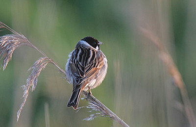 Cock Reed bunting
