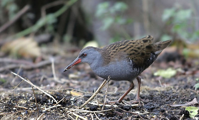 Water rail foraging below bird feeders