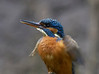 Kingfisher drying her wings