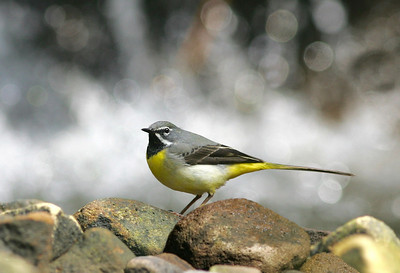 Male Grey wagtail below waterfall