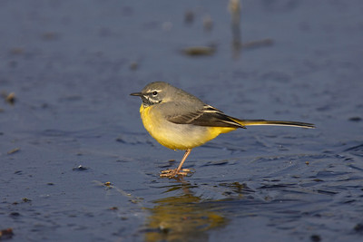 Grey wagtail on frozen canal