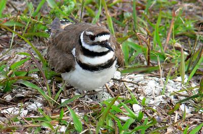 Nesting Killdeer