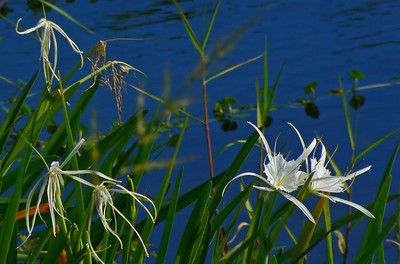 Lilies -- Both String and Spider