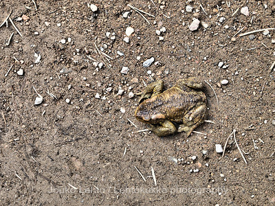 The Common toad (Bufo bufo), European toad;  Rupikonna 40