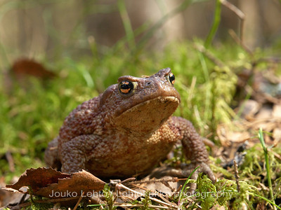 Frog spring - Sammakkojen kevät
