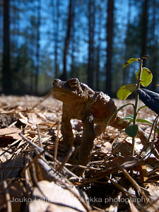 Rupikonna (Bufo bufo) - Common toad
