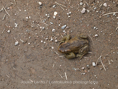 The Common toad (Bufo bufo), European toad;  Rupikonna 39