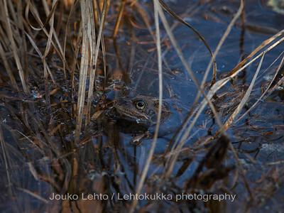 Sammakko (Rana temporaria) - Common Frog