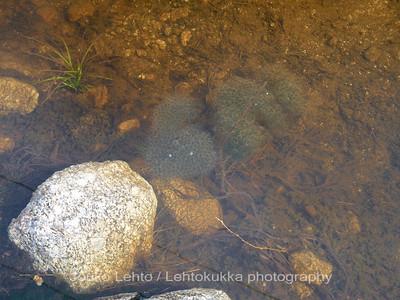 Sammakon kutua - Frog spawn