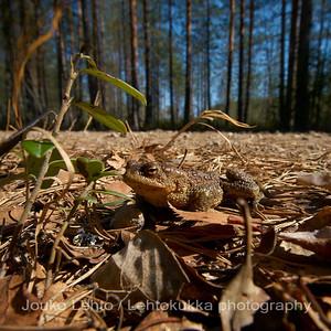 Rupikonna (Bufo bufo) - Common toad