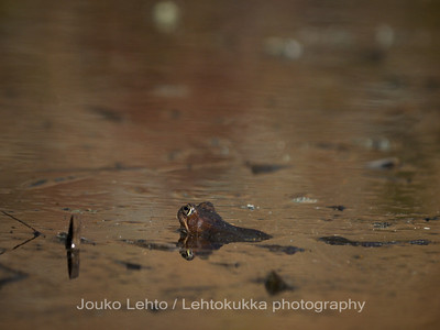 Sammakko (Rana temporaria) - Common Frog