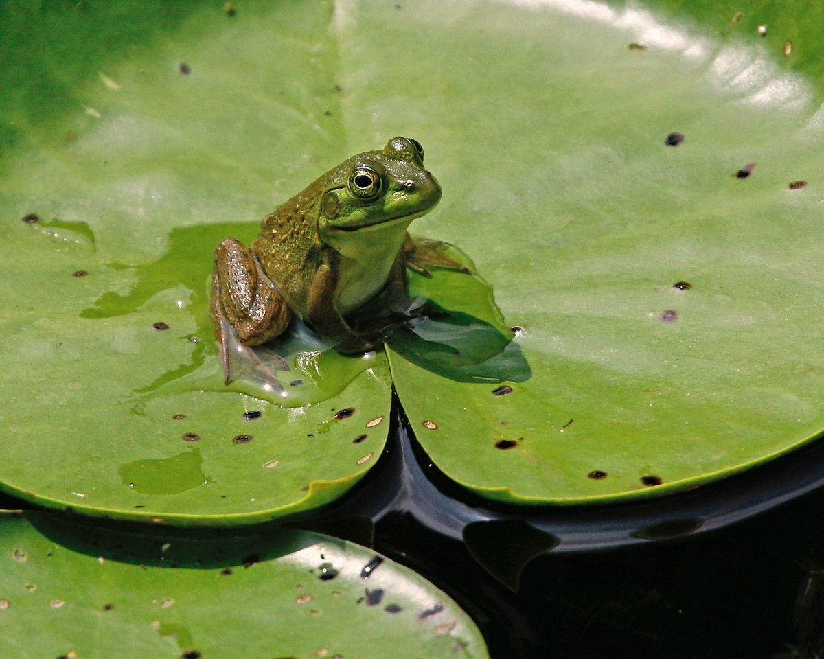 Froglet on Lily Pad