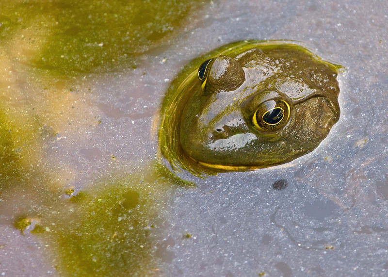 Bullfrog in Shade, with Pond Scum.<br /> <br /> (Hmmm, that sounds more like a French menu item than a photo title)