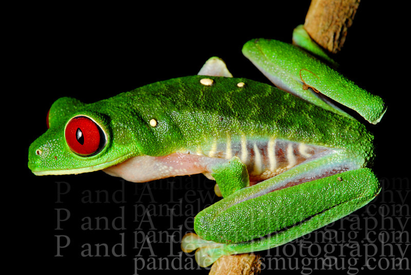 Red-eyed tree frog, near Corcovado National Park, Costa Rica. January 2009.