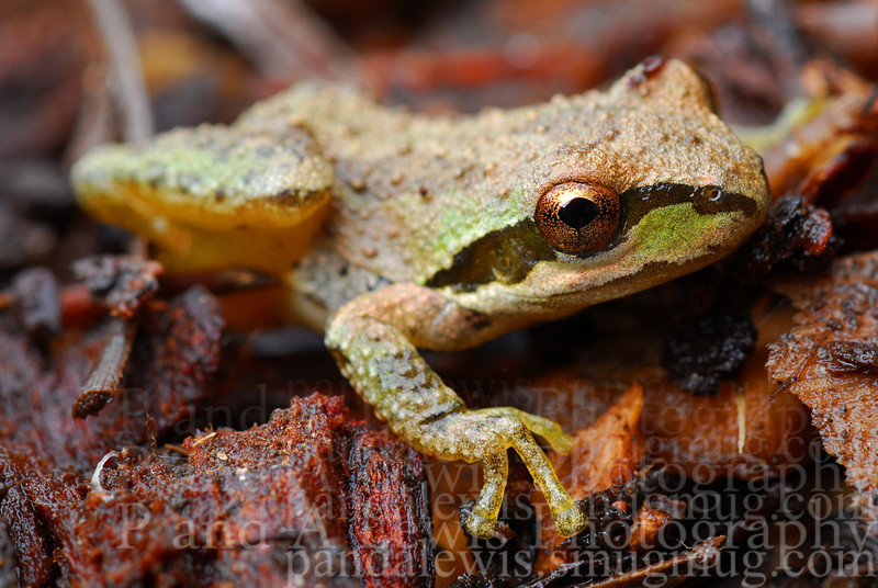 Pacific tree frog [Pseudacris regilla], Stanford, CA.  February 2009.