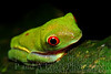 Young red-eyed tree frog, La Selva Biological Station, Costa RIca.  January 2009.