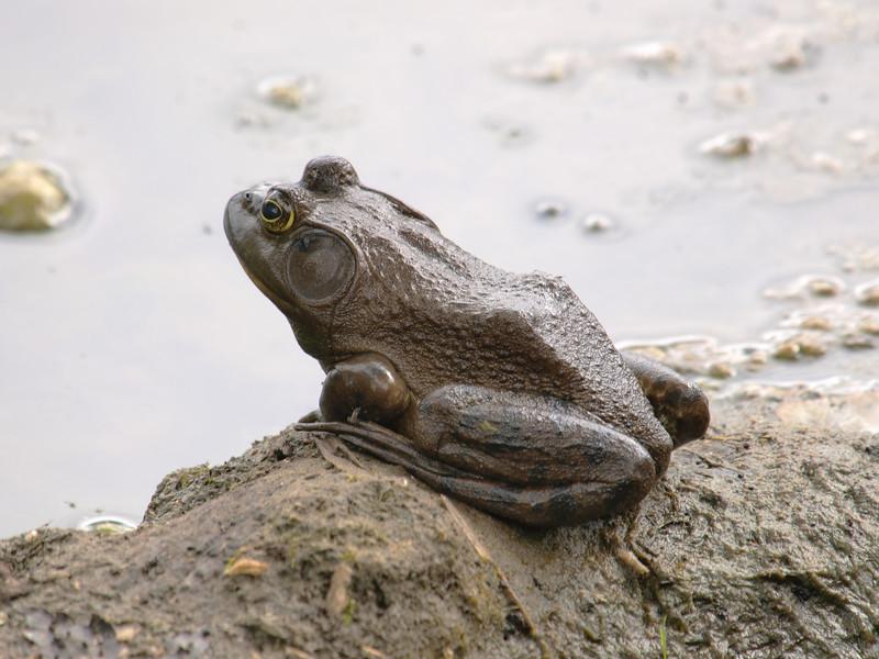 Petrie Island, toad