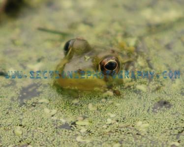 Frogs in Hiding