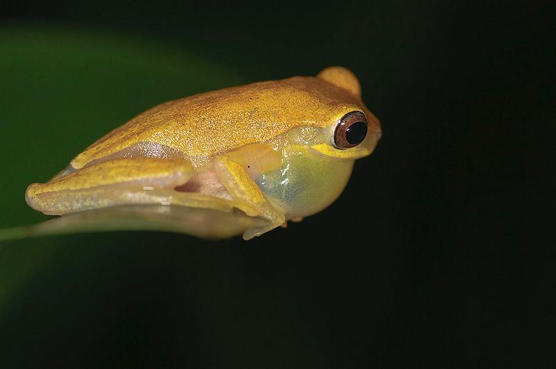 Rana dorada (<em> Dendropsophus ebraccatus </span></em>) / Hourglass treefrog