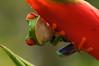 Rana de ojos rojos (<em>Agalychnis callidryas</span></em>)