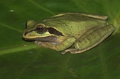 Rana enmascarada (<em>Smilisca phaeota</span></em>)
