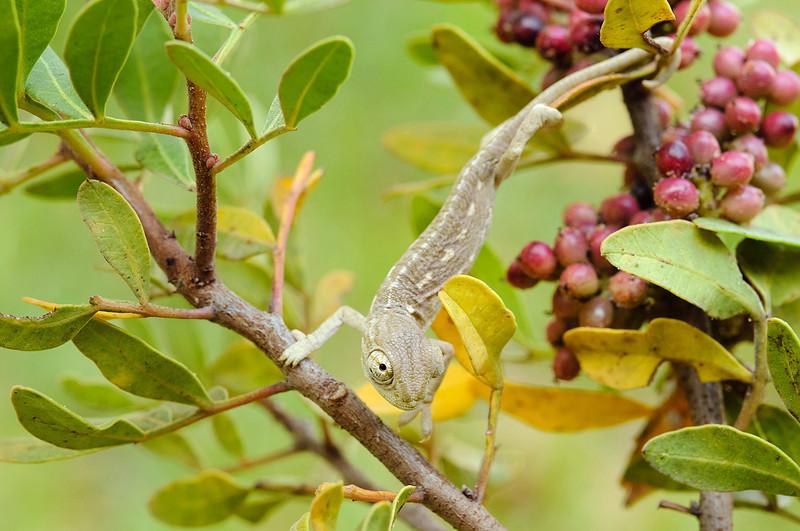 Common chameleon / Camaleón (<em>Chamaeleo chamaeleon</span></em>)
