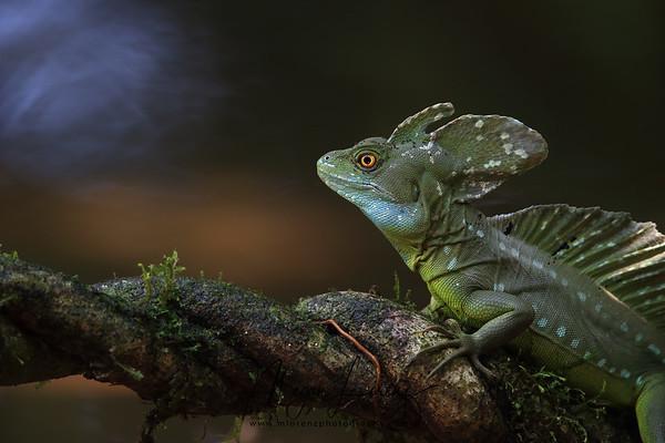 Jesus Christ Lizard (Basilisk Lizard) in Costa Rica