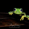 Ghost Glass Frog in Costa Rica