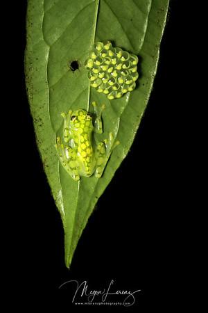 Male Reticulated Glass Frog  (Hyalinobatrachium valerioi <br /> ) in Costa Rica