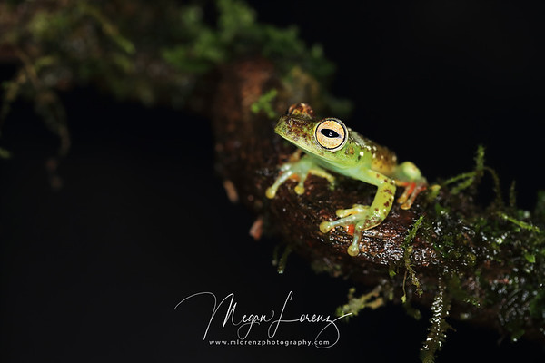 Red-Webbed Tree Frog in Costa Rica