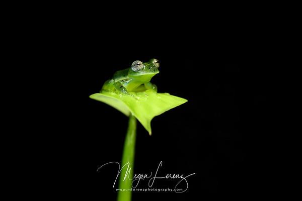 Male Emerald Glass Frog (Espadarana prosoblepon)