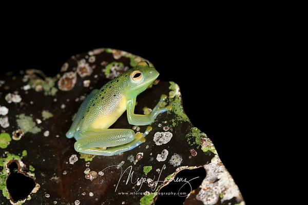 Granular glass frog in Costa Rica.