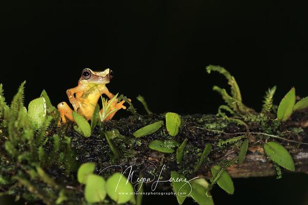 Rainforest Rana