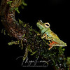 Red-Webbed Tree Frog in Costa Rica.