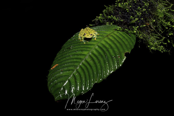 Reticulated Glass Frog in Costa Rica