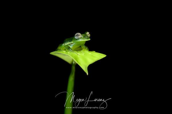 Male Emerald Glass Frog (Espadarana prosoblepon) in Costa Rica.