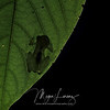 Male Reticulated Glass Frog (Hyalinobatrachium valerioi) silhouette on a leaf in Costa Rica