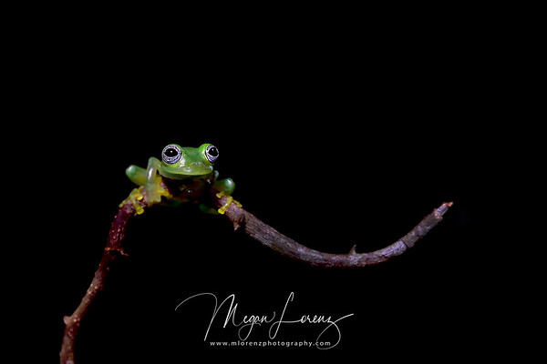 Ghost Glass Frog in Costa Rica.