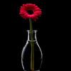 """DSC_2982 copy. Gerbera Daisy from Joene's Garden.  <a href=""""http://www.joenesgarden.com"""">http://www.joenesgarden.com</a>"""