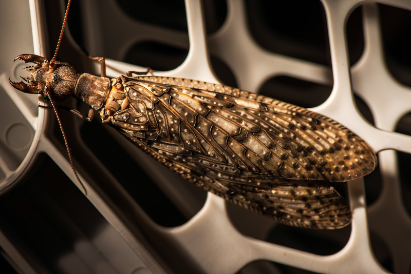 Dobsonfly-8857 copy1