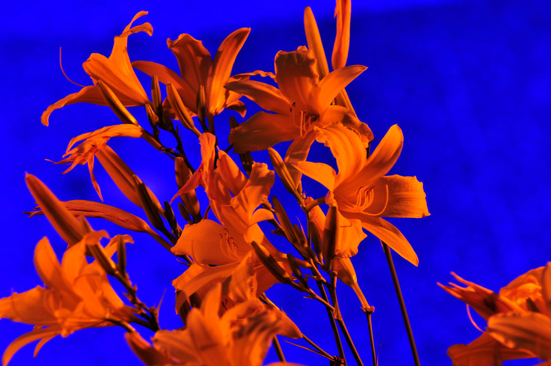 July 2008: yellow iris.  These were yellow, but the lighting by tikki torches gave the orange glow.  The back ground is created with a blue light shining through water.