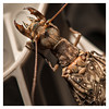 Dobsonfly-8856 copy2