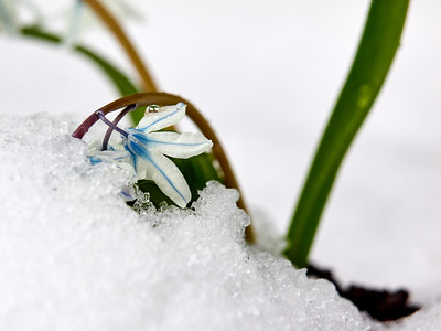 Scilla on snow