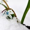 Scilla on snow
