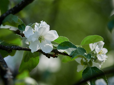 Apple flowers 8