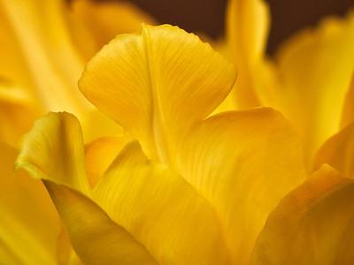 Tulppaani - Tulip