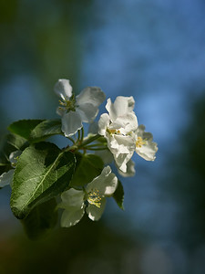 Apple flowers 14