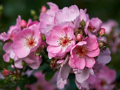 Slowly they are vanishing. Rose Sweet Haze