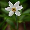 Narcissos